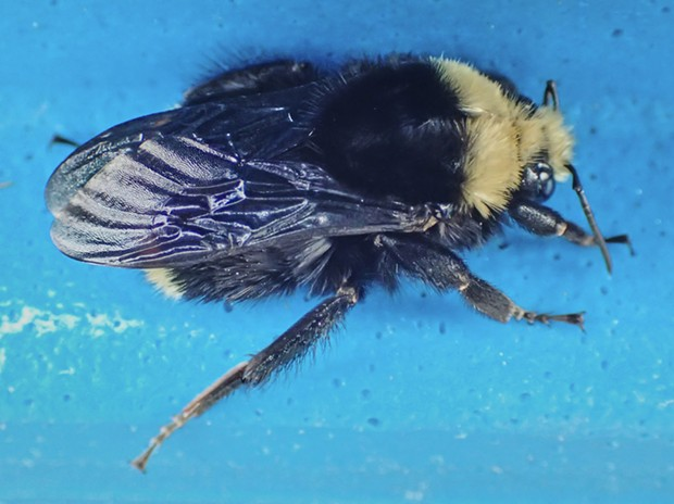 Another cold bumblebee on my recycling can. Yellow-faced bumblebee (Bombus vosnesenskii). - PHOTO BY ANTHONY WESTKAMPER