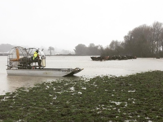 Air boats were used to move livestock to higher ground. - HCSO