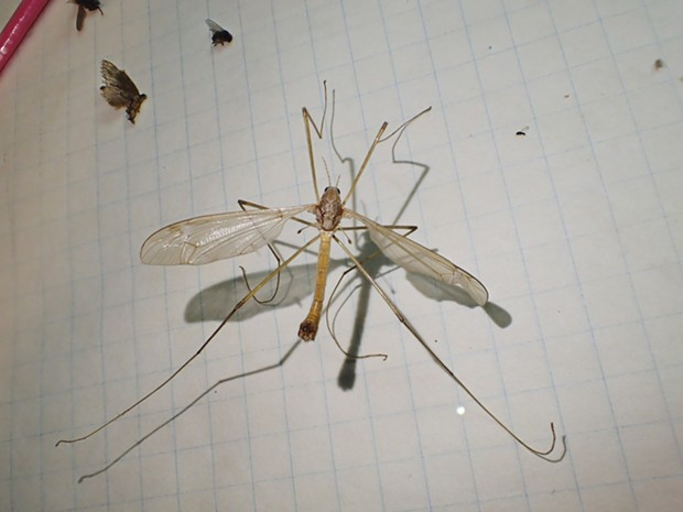 An adult crane fly. It never had a chance. - PHOTO BY ANTHONY WESTKAMPER