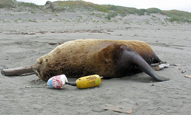A big, comfy Steller sea lion. - PHOTO BY MIKE KELLY