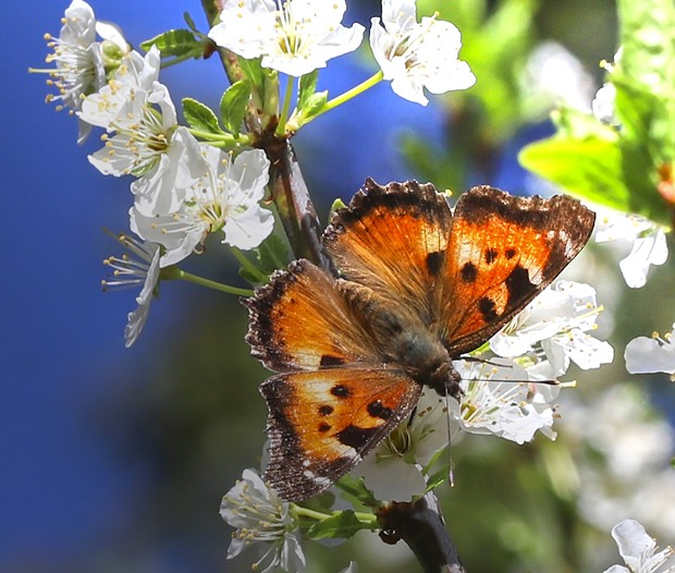 California tortoiseshell populations fluctuate erratically. - PHOTO BY ANTHONY WESTKAMPER