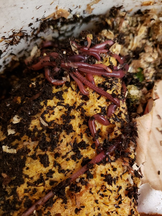 Food waste (left) breaks down into compost, which worms eat (right). Submitted