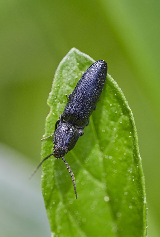 Click beetle. - PHOTO BY ANTHONY WESTKAMPER