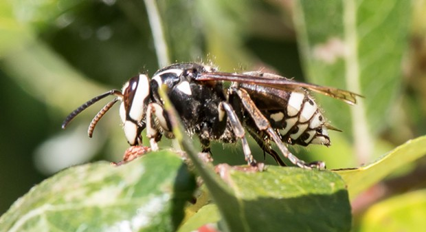 A profile shot of a worker bald faced hornet. - PHOTO BY ANTHONY WESTKAMPER