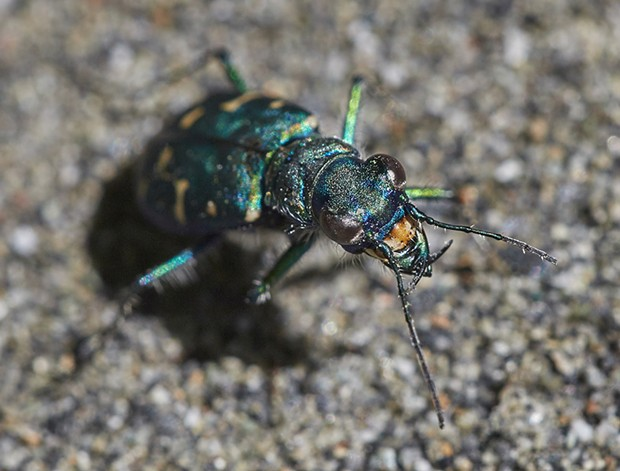 A western tiger beetle. - PHOTO BY ANTHONY WESTKAMPER