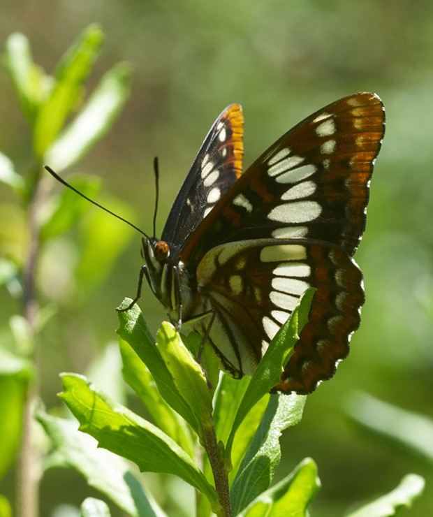 Lorquin's admiral standing watch over his territory. - PHOTO BY ANTHONY WESTKAMPER