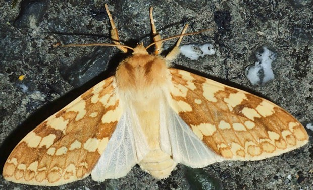 Yellow spotted tiger moth still on pavement. - PHOTO BY ANTHONY WESTKAMPER