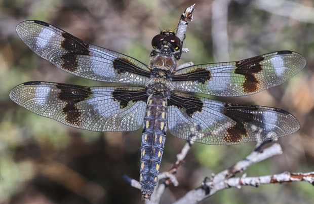 Eight spot skimmer. - PHOTO BY ANTHONY WESTKAMPER