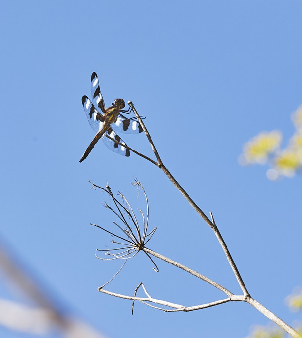 A male 12 spot dragonfly. - PHOTO BY ANTHONY WESTKAMPER