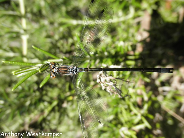 Black spreadwing shows this damselfly family often hold their wings horizontally. - PHOTO BY ANTHONY WESTKAMPER