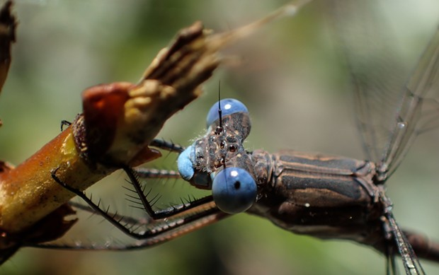 A portrait of a California spreadwing shows eye shape common to damselflies. - PHOTO BY ANTHONY WESTKAMPER