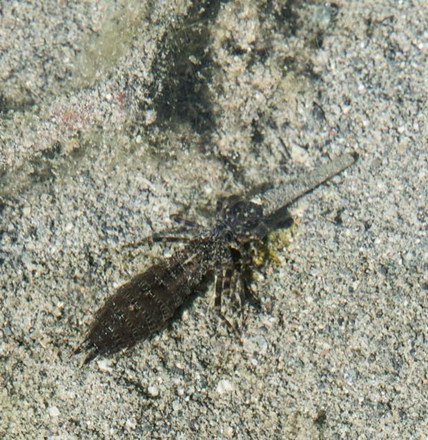 Dragonfly larva dining on a caddisfly larva. - PHOTO BY ANTHONY WESTKAMPER