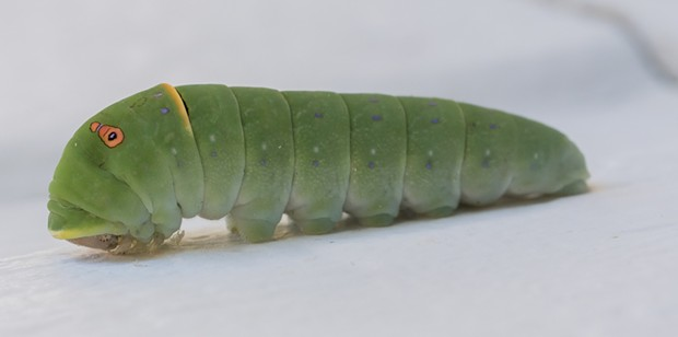 A western tiger swallowtail caterpillar. - PHOTO BY ANTHONY WESTKAMPER