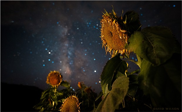 It was a ragtag group of setting sunflowers awaiting us at the patch by the time I made it out there to photograph them. The forlorn farewell of sunflowers contemplating the next phase of existence. - DAVID WILSON