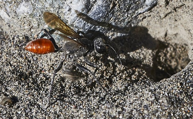 Prionyx wasp prepares a den in which she will deposit a paralyzed grasshopper and an egg to perpetuate her species. - PHOTO BY ANTHONY WESTKAMPER