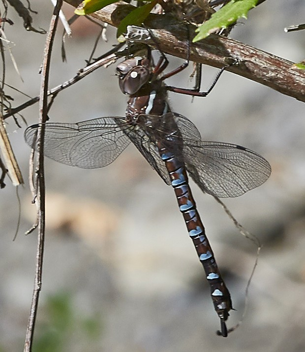 Locally uncommon Walker's darner (Aeshna walkeri) rests, obscuring its identity to all but the most sophisticated of dragonfly folks. - PHOTO BY ANTHONY WESTKAMPER