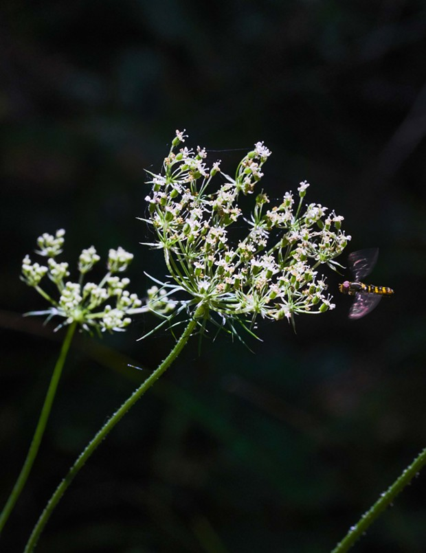 Hover fly approaches one of the last Queen Anne's lace of the year. - PHOTO BY ANTHONY WESTKAMPER