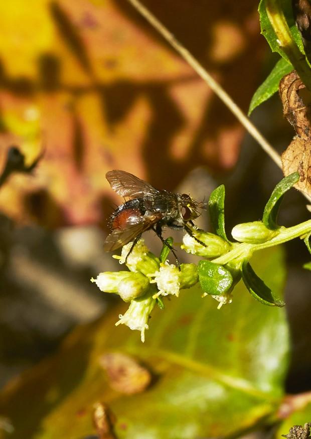 Orange and black tachnid fly. - PHOTO BY ANTHONY WESTKAMPER
