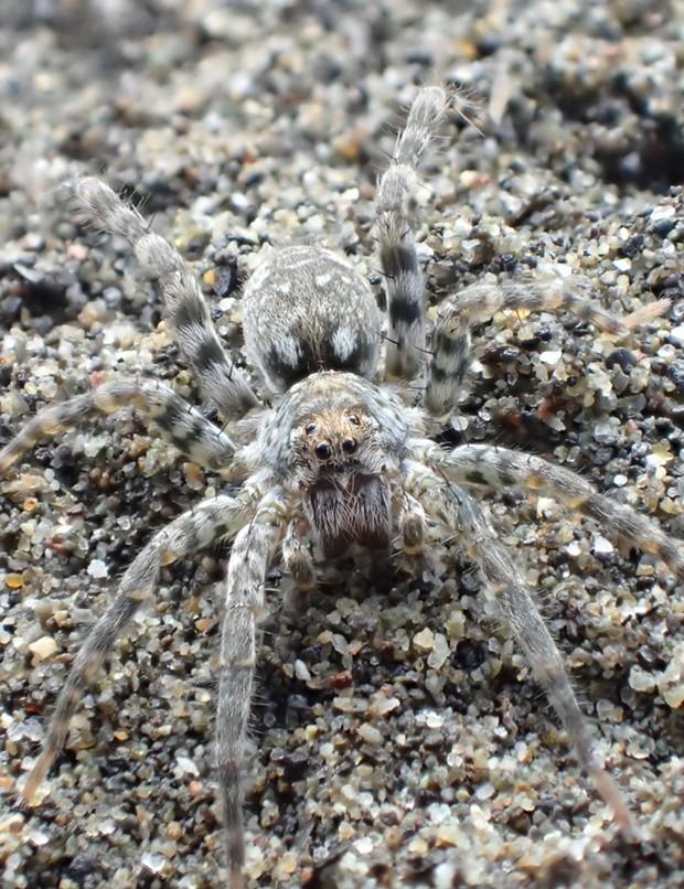 Closeup portrait of beach wolf spider. - PHOTO BY ANTHONY WESTKAMPER