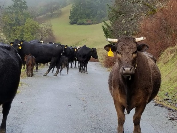 Cattle on Old Briceland Road will have to share their grazing ground with impatient travelers later this month. - PHOTO COURTESY OF MARIANNE ODISIO