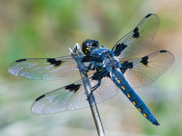 Hoary skimmer (Libellula nodisticta), very young, not grayed out by time yet. - PHOTO BY ANTHONY WESTKAMPER