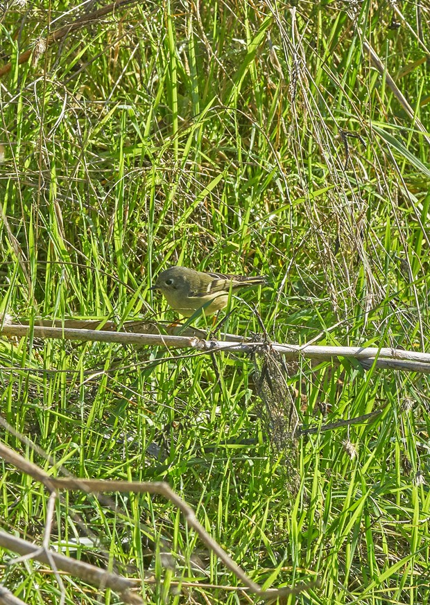 Ruby-crowned kinglet led me a merry chase. - PHOTO BY ANTHONY WESTKAMPER