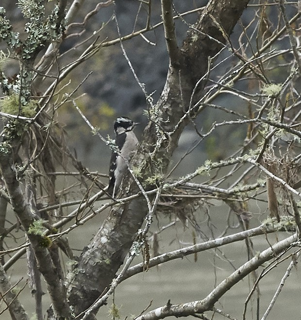 Woodpecker gleans insects from dead branches in an alder. - PHOTO BY ANTHONY WESTKAMPER