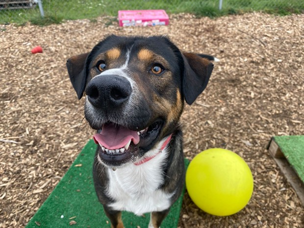 Duke is 2 years old and loves tennis balls and being pet. He's one of many animals looking for a forever home. - HUMBOLDT COUNTY ANIMAL SHELTER