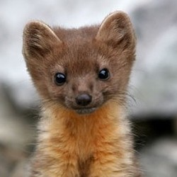 A young Humboldt marten. - COURTESY OF EPIC