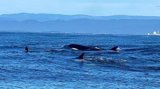 Orcas chillin' off Eureka. - ISHAN VERNALLIS