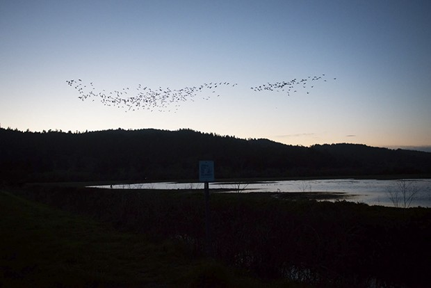 Migrating geese take to the sky early Sunday morning from the Humboldt Bay National Wildlife Refuge. - MARK MCKENNA