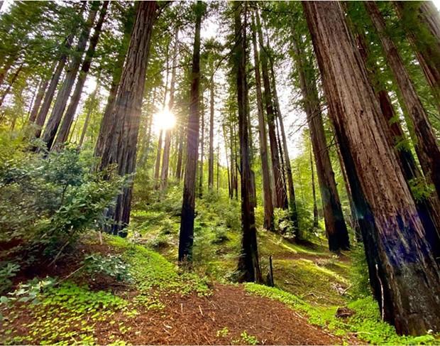 Majestic redwoods. - ROWDY KELLEY/HUMBOLDT GEOGRAPHIC