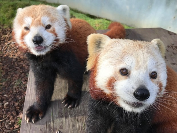 The Red pandas have surprises in store for people on Aug. 8 during the virtual broadcast. - SEQUOIA PARK ZOO FOUNDATION.