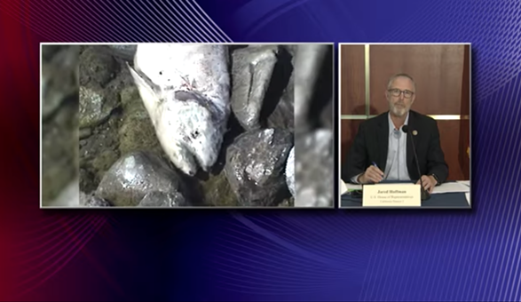 1)North Coast Rep. Jared Huffman introduces his Congressional subcommittee on Water, Oceans and Wildlife's forum on the Klamath River as slides from the 2002 fish kill roll beside him. - SCREENSHOT FROM KEET'S LIVE BROADCAST