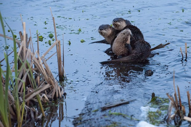 If you see otters, like these on a log at the Humboldt Bay National Wildlife Refuge, let HSU's River Otter Citizen Science Project know. - MARK MCKENNA