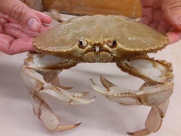 """Butters,"" a rare albino crab, has a new home at the HSU Marine Lab. - GRANT EBERLE/HSU MARINE LAB"