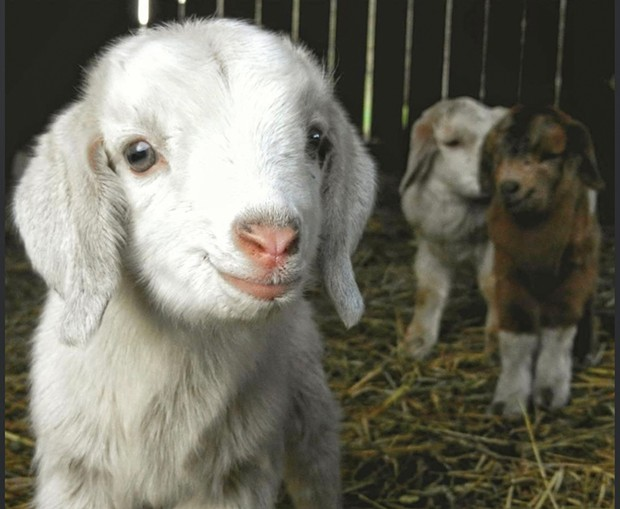 """Farm Friends Winner """"Baby Goats""""""""Hi... are you my mama?"""" - BY DAVE GRANT"""