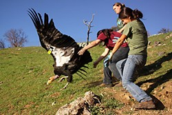 Ventana Wildlife intern Kristy Markowitz (front), Yurok Tribe wildlife technician Tiana Williams (center) and Ventana field technician Sayre Flannigan release a California condor in Big Sur. Photo by Chris West