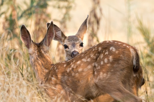 Don't take the fawns. - CDFW