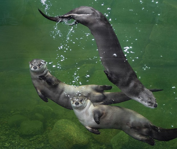 River otters at the Sequoia Park Zoo Watershed Heroes exhibit. - PHOTO COURTESY OF SEQUOIA PARK ZOO