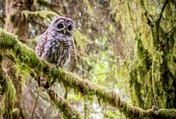 Sighting a young Barred Owl along the Ossagon Trail was a special treat on a August hike. - PHOTO BY MARK LARSON