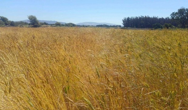 Akmolinka (left) and Sonora (right) wheat growing on Mai Nguyen's farm in Sebastopol, California. - COURTESY OF MAI NGUYEN