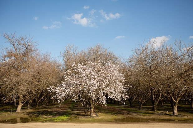 Almond trees begin to blossom in Shafter on Feb 16, 2021. Almonds come from the pits of drupes which is the fruit grown from almond trees. They are in the same classification as peach trees. - PHOTO BY SHAE HAMMOND FOR CAL MATTERS