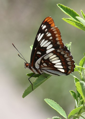 The Lorquin's Admiral masquerading as someone less palatable. - ANTHONY WESTKAMPER