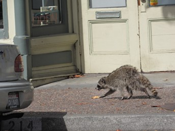 Raccoon on the prowl for a place to sleep. - LINDA STANSBERRY