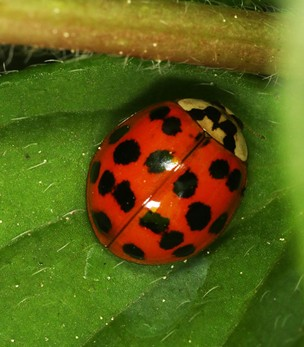 The Asian Spotted Ladybird Beetle (Harmonia axyridis). - ANTHONY WESTKAMPER