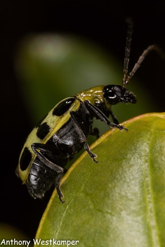The spotted cucumber beetle is a well known agricultural scourge. - ANTHONY WESTKAMPER