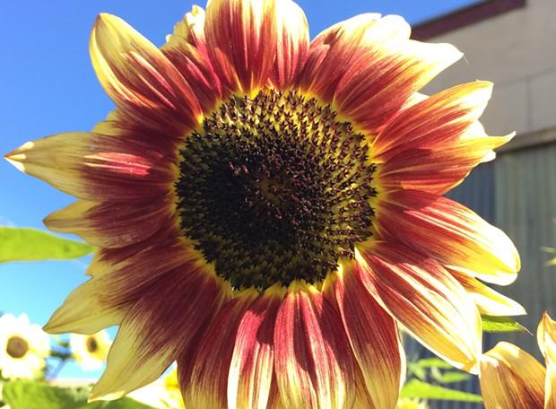 """I brake for sunflowers"" - JENNIFER SAVAGE"
