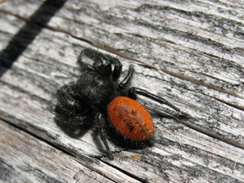 Red backed jumping spiders are cute little buggers.