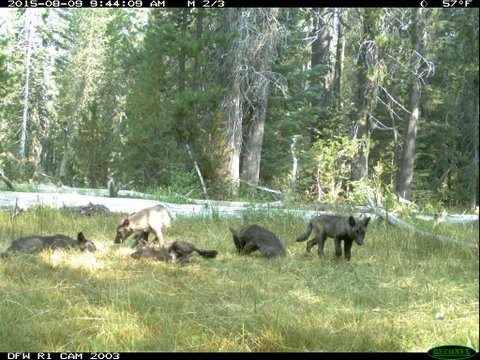 Wolf pups frolic in Siskiyou County - CALIFORNIA DEPARTMENT OF FISH AND WILDLIFE